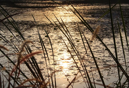 Golden Pond | by Sonali Mangal