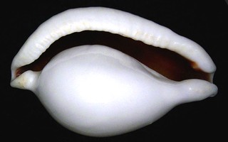 Ovula ovum (Linné, 1758)