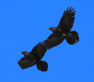 Common Raven: Wingtip Pair Formation | by kdee64