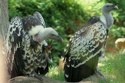 birds vultures vulture wildanimalpark zoos rueppellsgriffon gypsrueppellii rueppellsgriffonvulture rüppellsvulture sandeigosafaripark