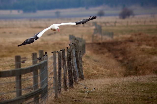 Stork flying low