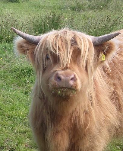 Veau ecossais tout mignon