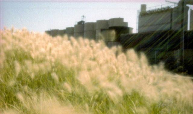 Grass, Sand plant