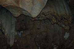 Bats_3_@_Chiang_Dao_caves