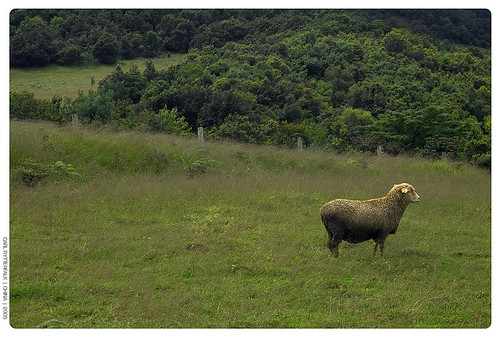 Sheep picture #1