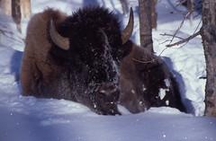 bison_sitting