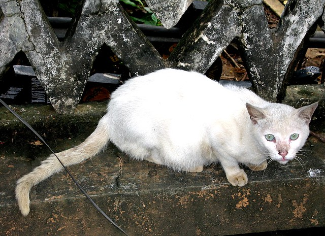 Saphaid Billi | Hindi for white cat | lecercle | Flickr