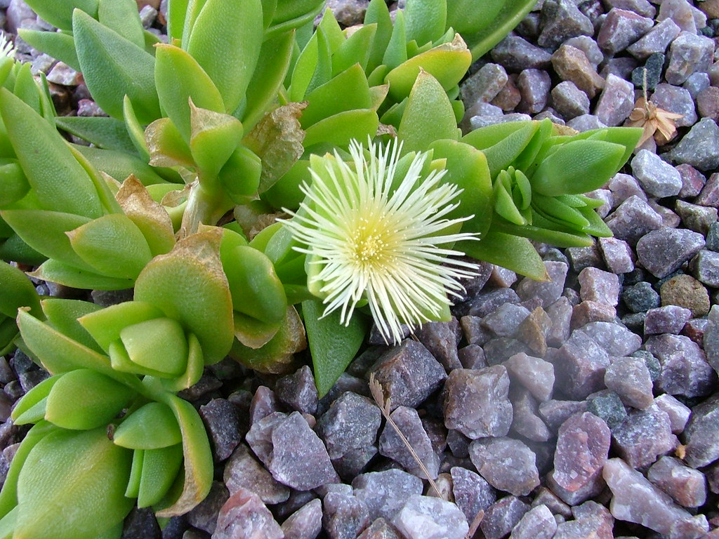 Sceletium tortuosum   Low-growing succulent  Reportedly used