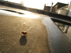 ladybug on the roof 2
