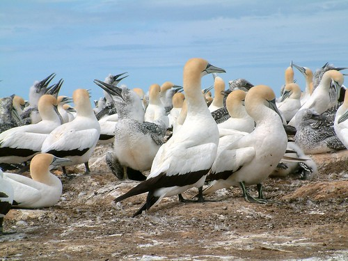 Cape Kidnappers Gannets | by El Groo