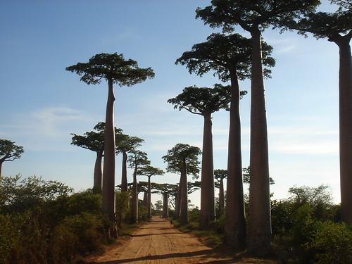 Baobab tree street   by izumi33