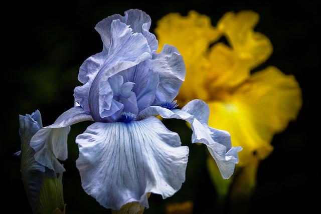 Les iris de Bagatelle