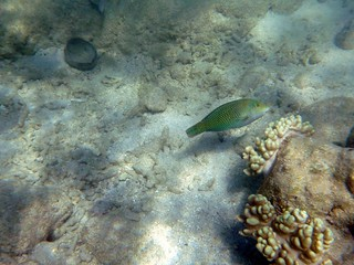Parrotfish a | by bwboone