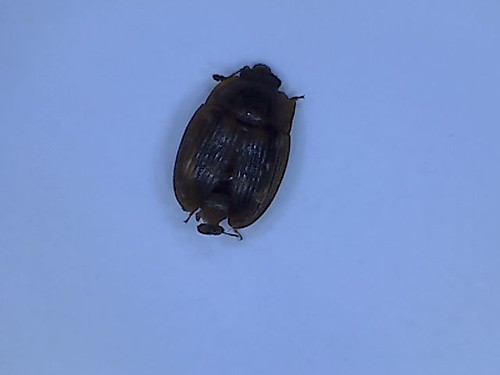 06 24 15 Bug ID Peggy Beetle | by picture account2012