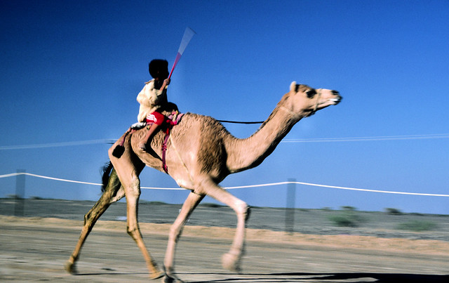 Camel Racing at Seeb
