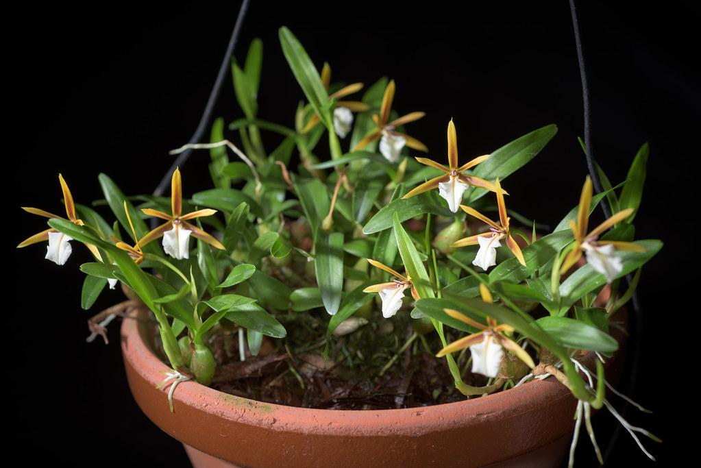 Dinema polybulbon (Sw.) Lindl., Gen. Sp. Orchid. Pl.: 111 (1831)