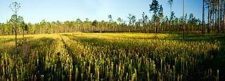 Sarracenia alata, Pale Pitcher Plant, Desoto National Forest, Stone County, Mississippi | by Brad Wilson, DVM
