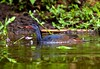 African Finfoot - Lake Mburo_MG_1325-16 by fveronesi1