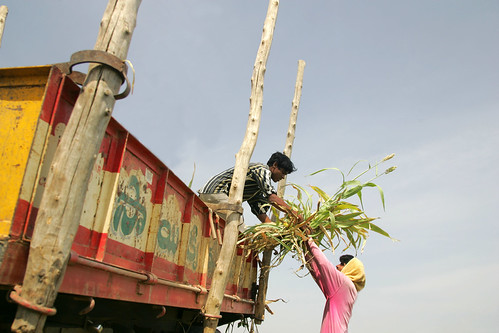 Loading sweet sorghum stover into truck for use as bio-fuel and livestock feed in India