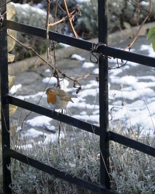 robin on the rye2
