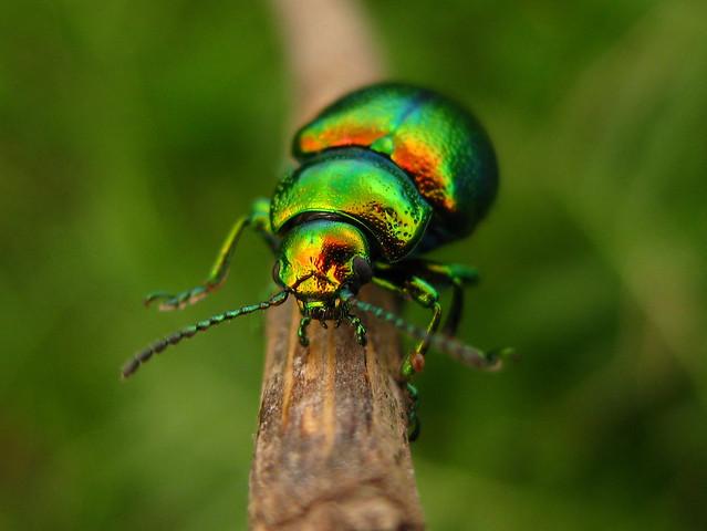 metallic green beetle