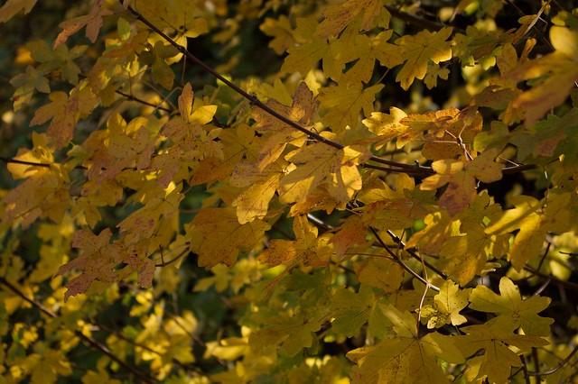 imgp0009 - Yellow Leaves