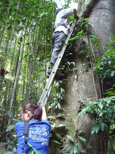Tue, 06/23/2009 - 11:15 - Nik Faizu installing plastic dendrometer. Credit: Kang Min.