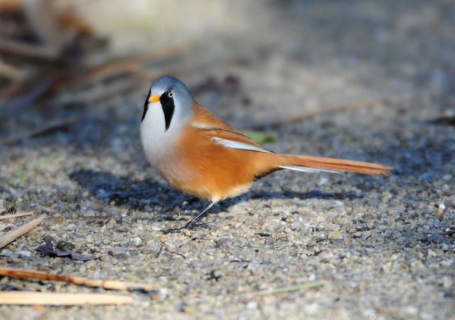 Bearded Tit (Panurus Biarmicus) Male on a Path at Far Ings, Lincolnshire