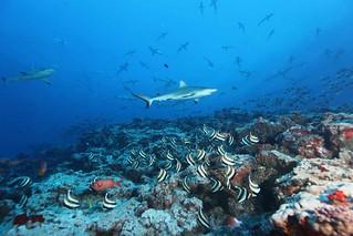Grey Reef Shark   by sharkdefenders