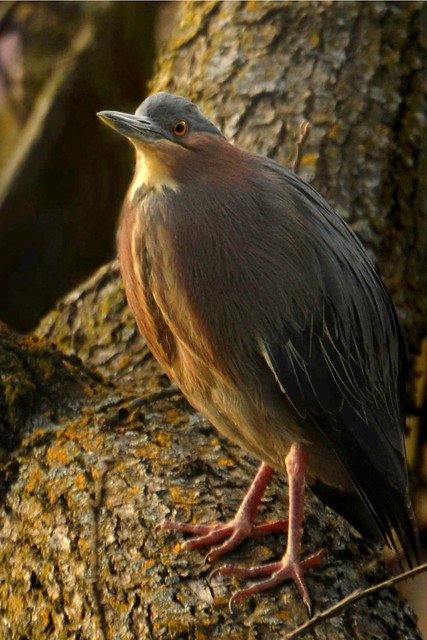 Green heron on an oak