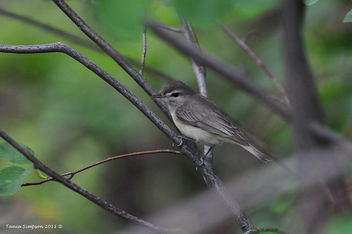 Warbling Vireo (Vireo gilvus) | by Photography Through Tania's Eyes