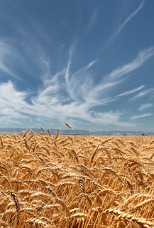 amber waves of grain | by Robert Couse-Baker