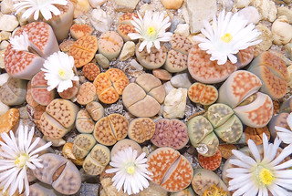 Lithops Karasmontana mix | by Hans Harreveld