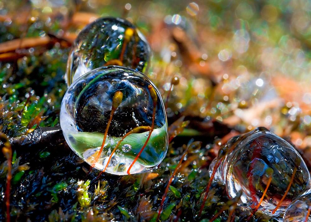 Moss sporangiums in ice drops / Esporangios del musgo en un mundo de cristal