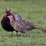 環頸雉-Ring-necked Pheasant - 雉雞