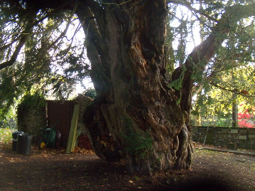Yew This spectacular tree always seems to be surrounded by junk. Cudham church Knockholt Circular
