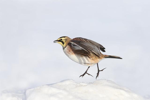 Alouette hausse-col / Horned lark