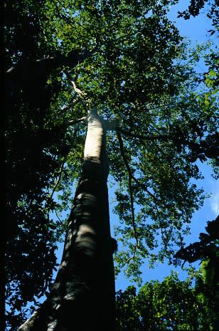 Mon, 10/26/2009 - 14:58 - Tetrameles nudiflora. 50-ha plot. Credit: CTFS