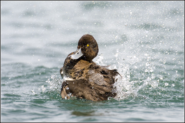 Duck (Lesser Scaup) - 0423