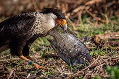 the crested caracara and the large fish