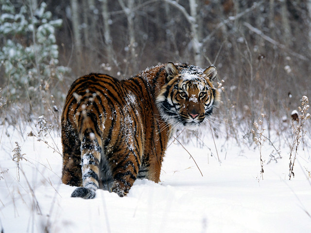 Siberian Tiger in Hunchun Nature Reserve