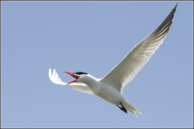Tern (Caspian) - 0458