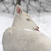 Albino Whitetail Deer Blue Eyes Our Snow Angel