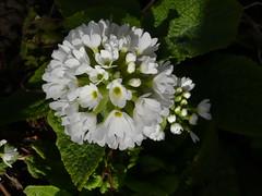 Primula denticula alba | by brianpettinger
