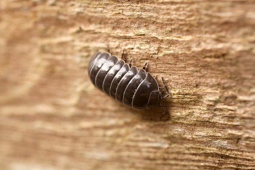 "A ""woodbug"" found in the back yard 