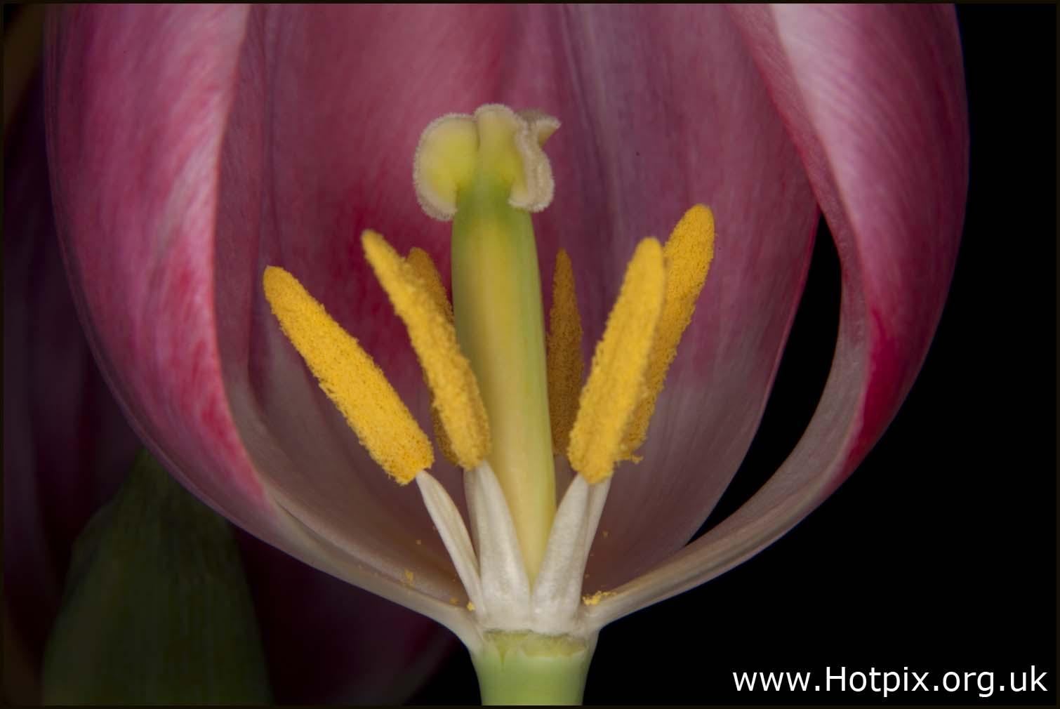 tulip,pink,macro,tubes,bellows,closeup,tripod,stamen,overy,overies,grappenhall,florest,2lips,welsh,cheshire,uk,england,petals,flowers,winter,spring,tonysmith,hotpix,tony,smith,plant,bloom,hotpics,hotpic,hotpick,hotpicks,nature,natural,world,flower,flores,blome,hot,pics,pix,picks,hotpix.freeserve.co.uk,art,arty,sex,sexy
