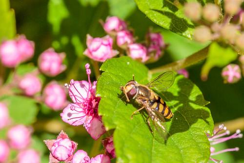 Blomsterflue | by ks mikkelsen