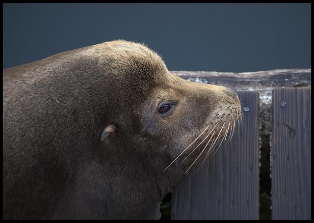 Newport #2: Sea Lion basking