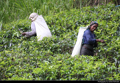 tea picker plantations farming farm labour labor harvest ernte hill tee té thé tè 茶 차 чай شاي चाय country landscape scenery scenic mountains mountain forest woods nature natur landschaft view aussicht pussellawa පුස්සැල්ලාව புசல்லாவை sri lanka ශ්‍රී ලංකා இலங்கை 斯里蘭卡 スリランカ 스리랑카 шриланка سريلانكا श्रीलंका ประเทศศรีลังกา