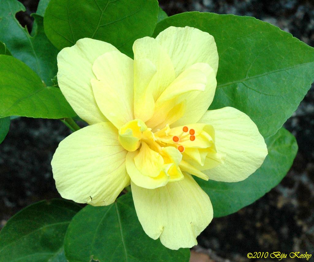 Kerala Flower Tropical Hibiscus Chemparati Common Name Flickr